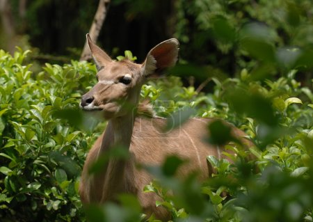 African Deer hides in the green bush.