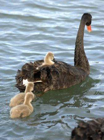 Black swan with chicks swimming in pond