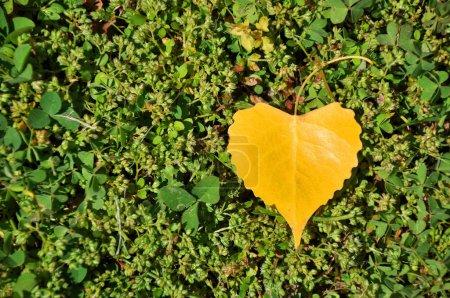 heart shaped yellow leaf