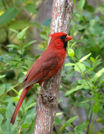 A male Cardinal sitting on a branch...