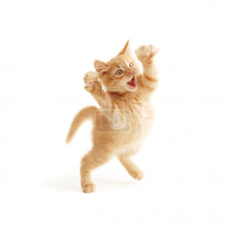 Photo for Kitten jumping isolated on white background - Royalty Free Image