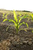 Rostlina mladá kukuřice