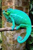 Brightly coloured chameleon