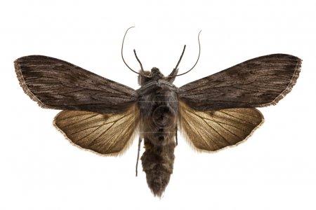 Shark Moth