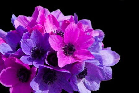 Photo for Purple and magenta anemones isolated on black - Royalty Free Image