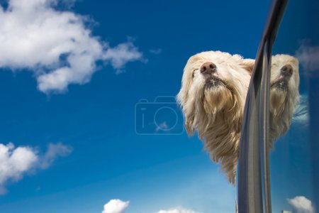 Photo for Romanian shepherd dog enjoying a ride with the car. - Royalty Free Image