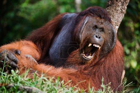 Yawning Orangutan
