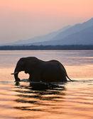 Elephant on the river Zambezi.