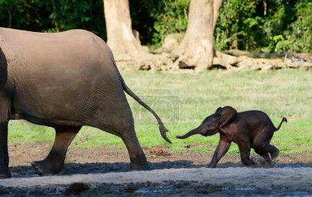 Photo pour L'Afrique. En voiture. Éléphant de forêt.Le petit veau d'éléphant court vers sa mère, essayant de saisir sa queue . - image libre de droit