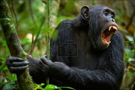 Photo pour Crier. un chimpanzé, assis dans un fourré du bois vert, haut et fort avec des cris d'angoisse. - image libre de droit