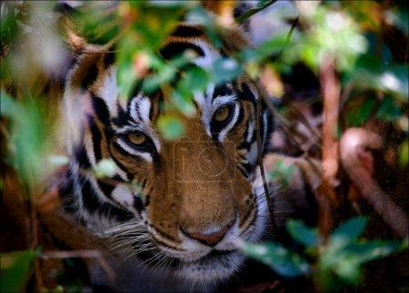Photo pour Portrait d'un tigre dans les buissons. la femelle d'un tigre donne sous les buissons et regarde directement. - image libre de droit