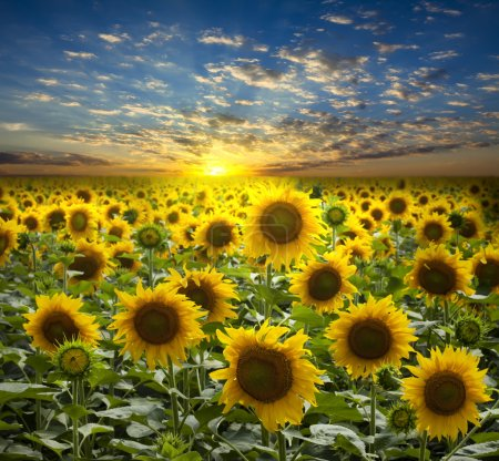 Field of flowerings sunflowers on a beautiful sunset background