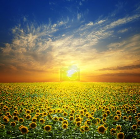 Photo for Summer landscape: beauty sunset over sunflowers field - Royalty Free Image