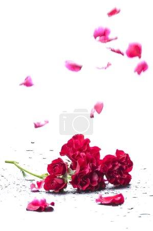 Falling petals of a rose