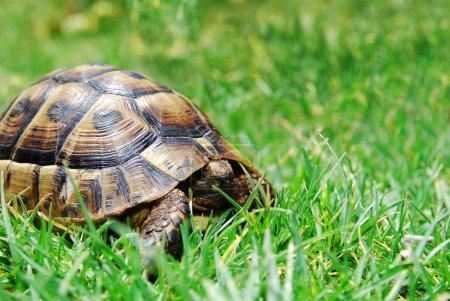 Photo pour Tortue sur herbe verte avec la tête rentrée dans - image libre de droit