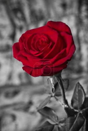 Photo for Beautiful red rose tint in black and white - Royalty Free Image