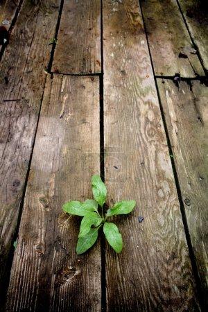 Foto de Vida: joven planta verde que emerge a través de las grietas de un viejo suelo de madera de un almacén abandonado. centrarse en la planta . - Imagen libre de derechos