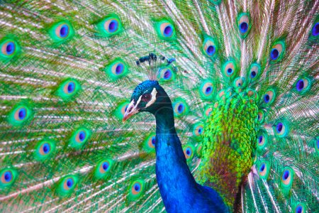 Photo for Very colorful peacock with full plumage. - Royalty Free Image